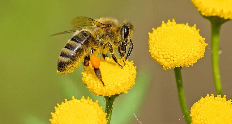 """Volksbegehren """"Rettet die Bienen!"""" – Eintragung ab 31.01.2019"""